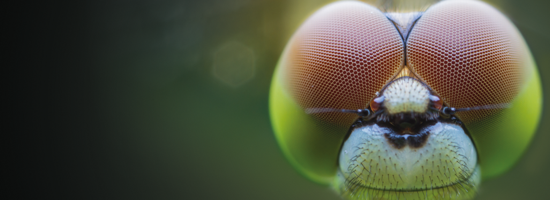 dragonfly header.png